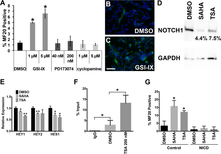 Aberrant NOTCH1-mediated signaling activity is essential for inhibiting myogenic differentiation of ERMS. (A) Summary of MF20 IF of RD cells treated with two different doses of GSI-IX, PD173074, or cyclopamine. (B-C) Representative MF20 IF images of RD cells treated with DMSO (B) and 20 μM GSI-IX (C). Scale bar = 20 μm. (D) Western blot of NOTCH1 expression in RD cells treated with DMSO, 200 nM TSA, or 1 μM SAHA. Each band intensity was normalized to GAPDH loading control. Percent intensity relative to DMSO (vehicle) treatment is shown. (E) Quantitative RT-PCR analysis of NOTCH1 pathway downstream targets, HEY1 , HEY2 and HES1 in RD cells treated with DMSO, 200 nM TSA, or 1 μM SAHA. (F) ChIP assay summary showing differential binding of acetyl-histone H3 (Lys9) at the NOTCH1 promoter in RD cells treated with DMSO or 200 nM TSA. Rabbit IgG was used as a negative control for chromatin immunoprecipitation. (G) Summary of MF20 IF of control GFP-overexpressing and NICD-overexpressing RD cells treated with DMSO, 200 nM TSA or 1 μM SAHA. Error bar in each graph indicates standard deviation of technical triplicates. Brackets in each group are used to indicate comparison groups. * indicates p