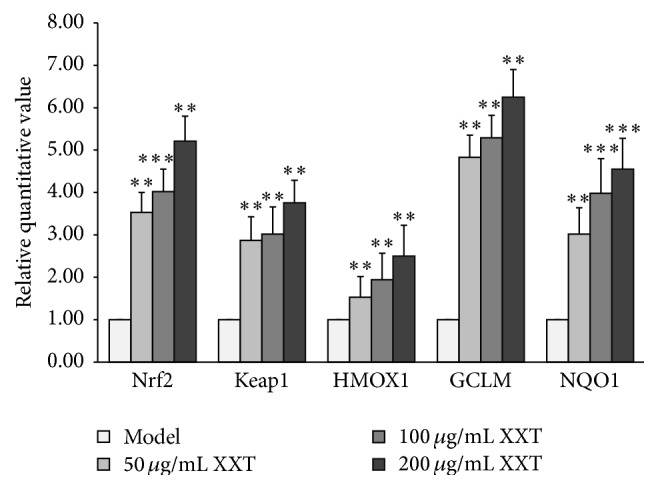 Effects of XXT on Nrf2 and Keap1 mRNA expression levels in HUVECs.
