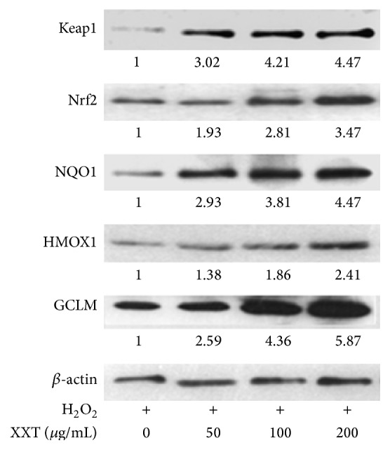 Effects of XXT on the protein expression levels of Keap1, Nrf2, HMOX1, GCLM, and NQO1 in HUVECs.