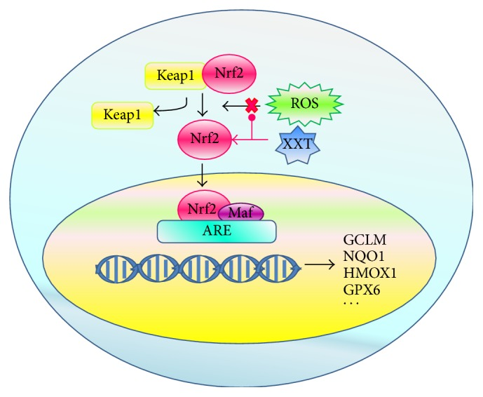 Schematic representation of XXT activities on Keap1-Nrf2-ARE pathway.