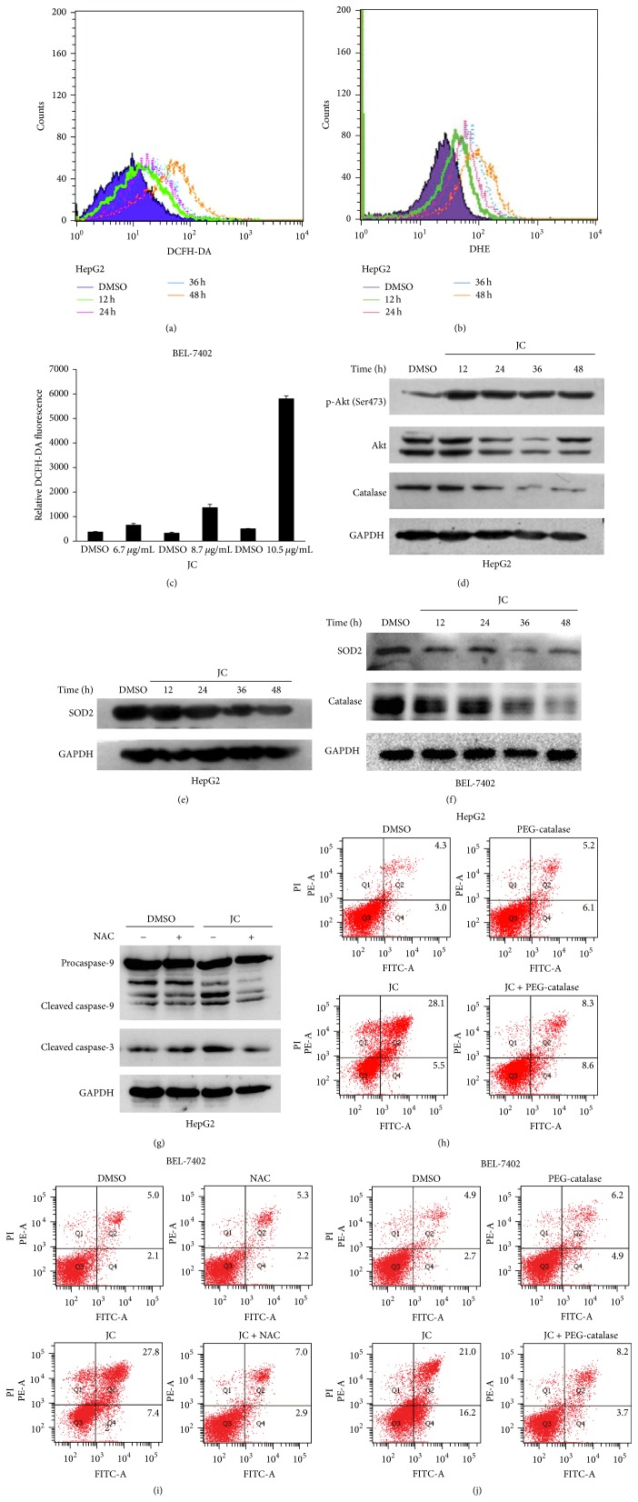 JC induces apoptosis by increasing intracellular ROS. (a, c) Effect of JC on the total ROS levels in HepG2 and BEL-7402 cells was examined by flow cytometry. HepG2 cells were treated with DMSO or 8 μ g/mL JC for 12, 24, 36, and 48 hours (a). BEL-7402 cells were treated with DMSO or 6.7, 8.7, and 10.5 μ g/mL of JC for 12 hours (c). (b) Effect of JC on superoxide anion levels in HepG2 cells was examined by flow cytometry. The levels of ROS in HepG2 cells were treated with either DMSO or 8 μ g/mL of JC for 12, 24, 36, and 48 hours and analyzed by flow cytometry. (d–f) Effects of JC on catalase and SOD2 expression and Akt activation were determined by Western blot analysis. HepG2 cells were treated with either DMSO or 8 μ g/mL of JC for the indicated times (d and e). BEL-7402 cells were treated with DMSO or 8.7 μ g/mL of JC for the indicated times (f). GAPDH was used as a loading control. (g–j) NAC and PEG-catalase abrogate JC-induced apoptosis. HepG2 cells were pretreated with NAC and PEG-catalase for 1 hour. HepG2 cells were treated with either DMSO or 8 μ g/mL of JC for 36 hours and detected by Western blot analysis (g) or flow cytometry analysis (h). GAPDH was used as a loading control. BEL-7402 cells were treated with either DMSO or 8.7 μ g/mL of JC for 24 hours and detected by flow cytometry analysis (i and j).