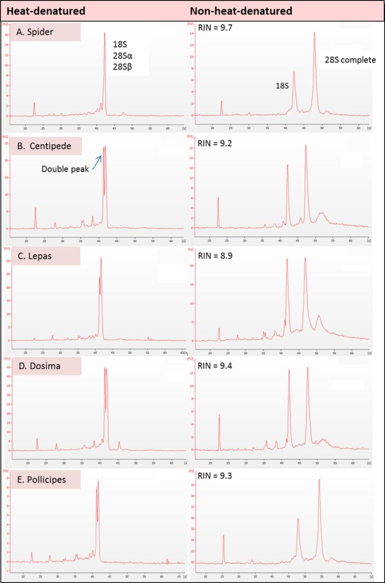 Electropherogram traces for 100–200 ng of total RNA applied to an RNA Nano Chip were generated on the Agilent 2100 Bioanalyser. RNA that appears 'degraded' after heat-denaturation and fails to provide a RNA Integrity Number (RIN) can generate high RINs in non-heat-denatured aliquots from the same RNA stock. RIN numbers are shown in each case for (A) Spider Grammostola porteri ; (B) Centipede Scolopendra subspinipes ; (C) Stalked barnacle, Order Lepadiformes, Lepas anatifera ; D. Stalked barnacle, Order Lepadiformes, Dosima fascicularis E. Stalked barnacle, Order Scalpelliformes, Pollicipes pollicipes .