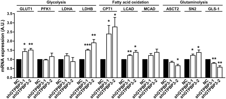 Increased mRNA expression in shGTPBP3 cells of genes involved in glycolysis and fatty acid oxidation. qRT-PCR analysis of mRNA expression of genes related to: 1) glycolysis ( GLUT1 : glucose transporter 1, PKF1 : phosphofructokinase, and LDHA and LDHB : lactate dehydrogenase A and B, respectively), 2) fatty acid oxidation ( CPT1 : carnitine palmitoyltransferase I, LCAD : long-chain acyl-CoA dehydrogenase, and MCAD : medium-chain acyl-CoA dehydrogenase), and 3) glutaminolysis ( ASCT2 : glutamine/amino acid transporter 2, SN2 : glutamine/amino acid transporter system N, and GLS : glutaminase) in shGTPBP3-1, shGTPBP3-2 and NC cells. Data are the mean ± SEM of at least three independent biological replicates. Differences from NC values were found to be statistically significant at *p