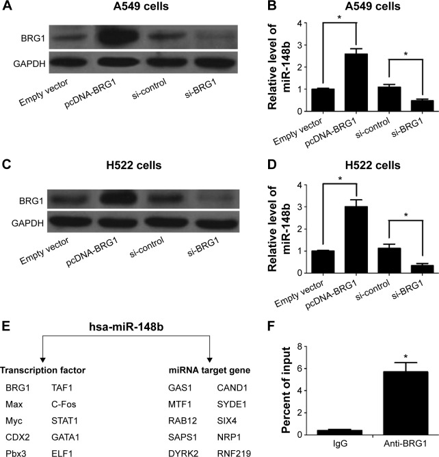 BRG1 binds to miR-148b target gene promoter in lung cancer cells. Notes: ( A ) The change of BRG1 levels after treatment with pcDNA-BRG1 and si-BRG1 in A549 cells. ( B ) miR-148b levels are positively correlated with BRG1 expression levels in A549 cells. ( C ) The change of BRG1 levels after treatment with pcDNA-BRG1 and si-BRG1 in H522 cells. ( D ) miR-148b levels are positively correlated with BRG1 expression levels in H522 cells. ( E ) Online platform ChIPBase displays the integrated TF-miRNAs network of miR-148b. ( F ) ChIP assay shows that BRG1 binds to the promoter of miR-148b target gene in A549 cells. * P