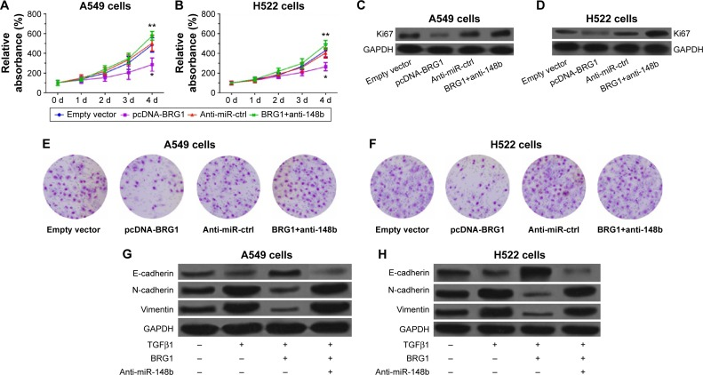 Restoration of BRG1 inhibits proliferation and metastasis of lung cancer cells but downregulation of miR-148b resists the effects. Notes: ( A and B ) Restoration of BRG1 inhibits proliferation of A549 and H522 cells, respectively. Downregulation of miR-148b shows an opposite effect. ( C and D ) Overexpression of BRG1 reduces the expression levels of Ki67 in A549 and H522 cells, respectively, but downregulation of miR-148b elevates them. ( E and F ) Restoration of BRG1 suppresses the migration ability of A549 and H522 cells, respectively, which is resisted by downregulation of miR-148b. ( G and H ) TGFβ1 decreases the level of E-cadherin but increases the levels of N-cadherin and vimentin, enhancing EMT of A549 and H522 cell lines, respectively. Restoration of BRG1 suppresses TGFβ1-induced EMT, but downregulation of miR-148b reverses it. * P