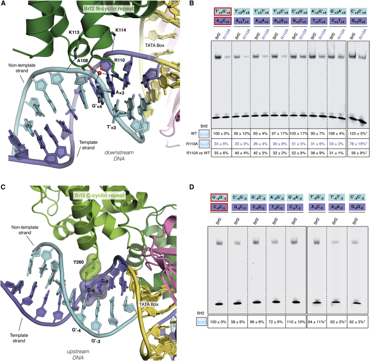 Brf2/DNA Sequence-Specific Interactions (A) Close-up view of the TATA box (yellow), downstream flanking region and sequence-specific interactions with Brf2. DNA template and non-template strands are in blue and cyan respectively. (B) Substitutions at positions +3 and +4 of the wild-type (circled in red) U6-2 promoter decrease binding of a R110A mutant, in particular when a T nucleobase is present at position +3 on the non-template strand (in cyan). R110A versus wild-type (WT) is the ratio between the percentage of binding of the mutant versus wild-type Brf2 proteins. (C) Close-up view of the TATA box (yellow), upstream flanking region and sequence-specific interactions with Brf2. DNA template and non-template strands are in blue and cyan respectively. (D) Substitutions at positions −3 and −4 of the wild-type (circled in red) U6-2 promoter reveal more efficient complex formation with a pyrimidine nucleobase and a C nucleobase at positions −3 and −4 of the template strand, respectively. (B and D) The intensity of the complex formed with TBP, U6-2 non mutated sequence and wild-type Brf2 (lane 1) was used as a reference for relative quantification. ∗ Indicates samples that were quantified relative to a distinct wild-type sequence reference not shown on the figure. Representative gels of three independent experiments. The data shown are the mean values and SE of three independent experiments. In the insets, 10 μl of a typical binding reaction (25 μl total) with Brf2 wild-type or Brf2 mutants were loaded on a SDS-PAGE gel and stained with Coomassie-blue, confirming that equal amounts of protein of comparable quality were used for EMSA assays. See also Figures S2 and S7 .