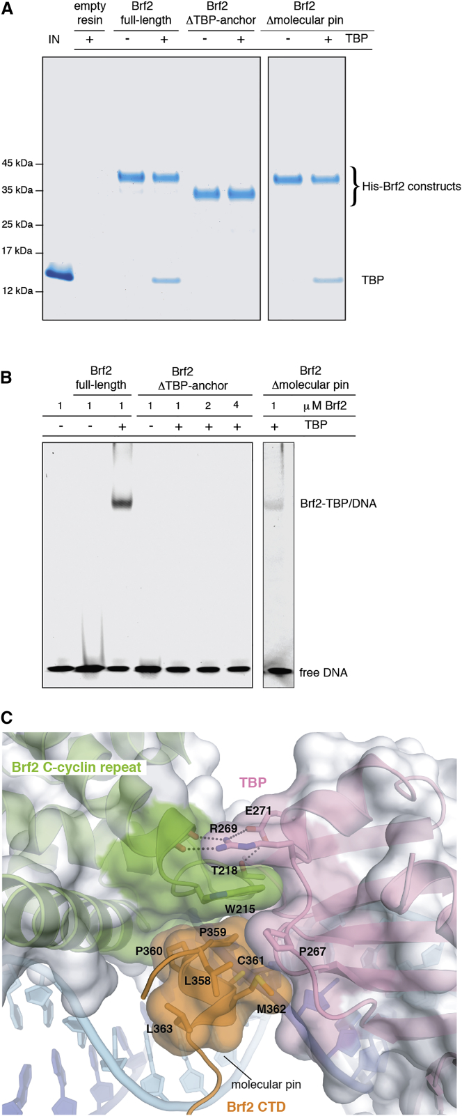 The <t>Brf2</t> Molecular Pin (A) The Brf2 TBP anchor domain but not the molecular pin is essential for Brf2-TBP interaction in absence of the DNA, as shown by a pull-down assay. (B) The Brf2 TBP anchor domain and the molecular pin are essential for the formation of a Brf2-TBP/DNA complex, as shown in an EMSA. (C) Close-up view of the Brf2 molecular pin at the interface between the Brf2 C-cyclin repeat, TBP, and the DNA. See also Figures S3 and S7 .