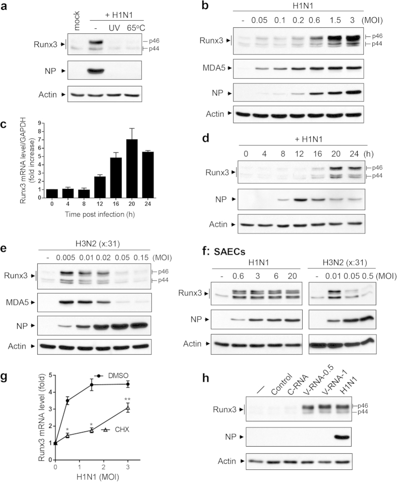 Runx3 is induced by IAV infection in airway epithelial cells. ( a ) BEAS-2B cells were treated with control PBS (mock) or infected with active H1N1 PR/8/34 strain at MOI of 1 or inactivated H1N1 viruses (UV light exposure or incubation in 65 o C for 30 min), grown for 24 h, and cell lysates at equal protein amounts were subjected to Western blotting with Runx3 or NP antibodies. ( b ) BEAS-2B cells were infected without (–) or with ( + ) H1N1 PR/8/34 at various MOIs of 0.05 to 3 for 24 h, and cell lysates at equal protein amounts were subjected to Western blotting with indicated antibodies. ( c,d ) BEAS-2B cells were infected with H1N1 (MOI = 1) for 0–24 h, and the kinetics of Runx3 mRNA and protein expression were determined by quantitative real-time PCR ( c ) and Western blot ( d ), respectively. ( e,f ) BEAS-2B cells ( e ) and SAECs ( f ) were infected without (–) or with ( + ) H3N2 (x:31) A/Aichi/68 or H1N1 PR/8/34 strains at different MOIs for 24 h, and cell lysates at equal protein amounts were subjected to Western blotting with indicated antibodies. ( g ) BEAS-2B cells were infected with H1N1 at various MOIs of 0.5 to 3 in the presence of control DMSO or cycloheximide (CHX, 5 μM) for 16 h. Runx3 mRNA level was measured by RT-PCR and normalized to GAPDH, and relative changes (fold) are shown. Data are means ± S.E. (n = 3). *p