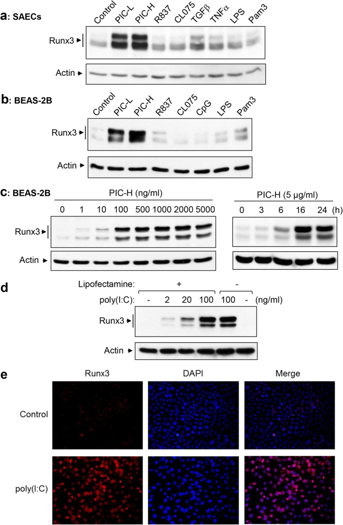 Runx3 is strongly induced by dsRNA poly(I:C) in airway epithelial cells. ( a,b ) SAECs ( a ) and BEAS-2B ( b ) cells were treated 24 h with control PBS (control), low molecular weight poly(I:C) (PIC-L, 10 μg/ml), high molecular weight poly(I:C) (PIC-H, 10 μg/ml), R837 (10 μg/ml), CL075 (10 μg/ml), TGFβ (10 ng/ml), TNFα (6 ng/ml), CpG (2 μg/ml), LPS (1 μg/ml), or Pam3CSK4 (Pam3, 10 μg/ml) as indicated. ( c ) BEAS-2B cells were treated 24 h with different doses of a high molecular weight poly(I:C) (PIC-H) ( left panels ) or with the poly(I:C) (5 μg/ml) for 0-24 h ( right panels ). ( d ) BEAS-2B cells were treated 24 h with different doses of a high molecular weight poly(I:C) complexed with (+) or without (–) lipofectamine-2000. Cell lysates at equal protein amounts from ( a–d ) were subjected to Western blot analysis with Runx3 or actin antibodies. Results shown are representative Western blots of three independent experiments. ( e ) BEAS-2B cells were treated with control PBS or poly(I:C) (2 μg/ml) for 20 h, fixed and immunostained with Runx3 monoclonal antibody or stained with DAPI as indicated. Nuclear localization of Runx3 was visualized and photographed by fluorescence microscopy. Results represent the findings of two independent experiments.