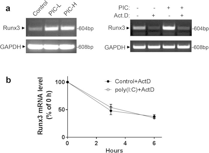 <t>Runx3</t> mRNA is induced by dsRNA poly(I:C) via transcriptional regulation but not mRNA stability. ( a ) BEAS-2B cells were treated with control PBS, low molecular weight poly(I:C) (PIC-L, 10 μg/ml), or high molecular weight poly(I:C) (PIC-H, 10 μg/ml) for 16 h ( left panels ); or pretreated 2 h with (+) or without (–) actinomycin D (Act.D, 5 μM) followed by incubation with high molecular weight poly(I:C) (PIC, 10 μg/ml) for 16 h ( right panels ); and Runx3 mRNA levels are shown in a representative RT-PCR of three independent experiments. ( b ) BEAS-2B cells were treated with control PBS or high molecular weight poly(I:C) (5 μg/ml) for 16 h, then actinomycin D (Act.D, 5 μM) was added for 3 or 6 h. Relative change in Runx3 mRNA level was measured and normalized to GAPDH and is represented as percentage of Runx3 mRNA at 0 h (n = 3).