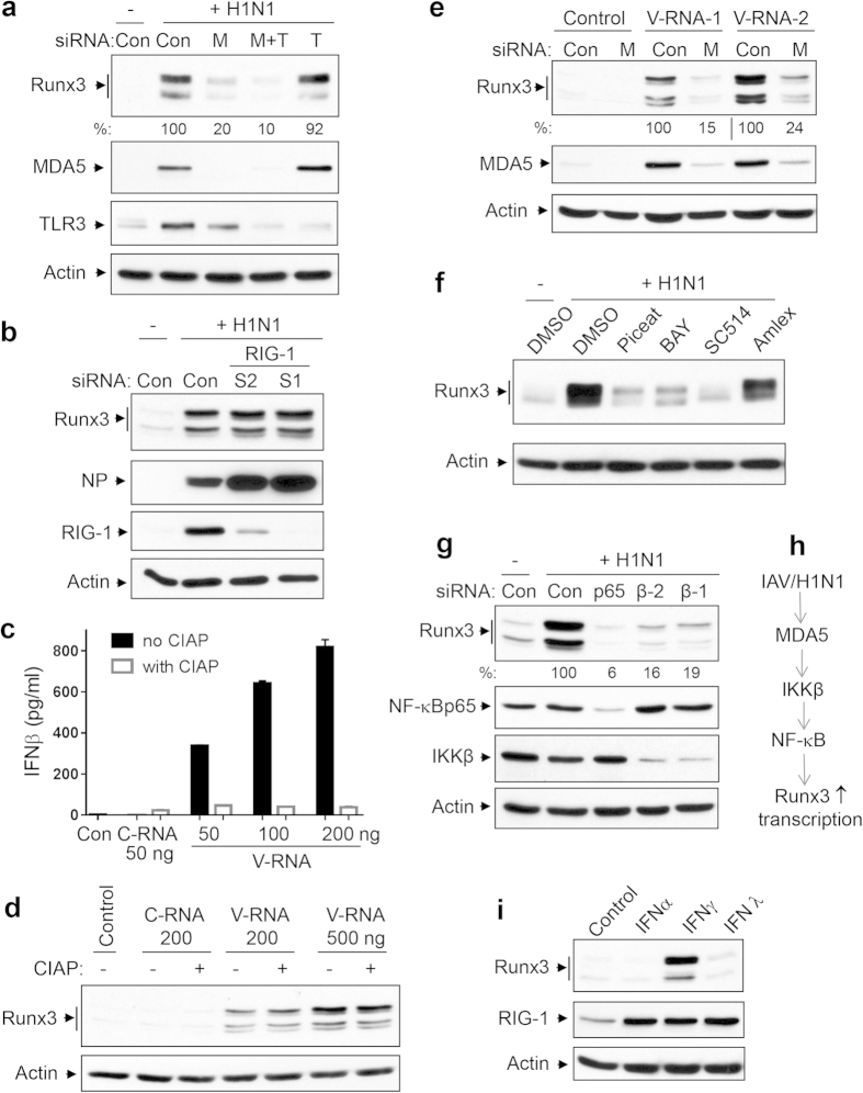 IAV-induced expression of Runx3 is primarily mediated by MDA5−NF-κB pathway. ( a , b ) BEAS-2B cells were transfected with 20 nM non-targeting control siRNA (Con), human MDA5 siRNA-2 (M), TLR3 siRNA-2 (T), both MDA5 and TLR3 siRNAs (M + T), RIG-1 siRNA-1 (S1), or RIG-1 siRNA-2 (S2), grown for 72 h then infected without (−) or with (+) H1N1 PR/8/34 at MOI of 1 for 24 h. ( c,d ) BEAS-2B cells were transfected with control H 2 O (Con), or different amounts of RNA isolated from uninfected BEAS-2B cells (C-RNA) or H1N1-infected BEAS-2B cells (V-RNA) treated with or without calf intestine alkaline phosphatase (CIAP). After 24 h, IFNβ released into the medium was measured by ELISA ( c ) or equal amounts of cell lysates were subjected to Western blot analysis ( d ). ( e )BEAS-2B cells were transfected with 20 nM non-targeting control siRNA (Con) or human MDA5 siRNA-2 (M), grown for 72 h, then transfected with control H 2 O (Control) or total RNA isolated from H1N1-infected BEAS-2B cells (V-RNA-1, 300 ng; V-RNA-2, 900 ng)) for 24 h. ( f ) BEAS-2B cells were infected without (−) or with H1N1 at MOI of 1 and then incubated with DMSO, piceatannol (Piceat, 15 μM), BAY11-7082 (BAY, 10 μM), SC514 (8 μM), or Amlexanol (Amlex, 10 μM) for 24 h. ( g ) BEAS-2B cells were transfected with 20 nM non-targeting control siRNA (Con), human p65, IKKβ siRNA-1 (β-1) or IKKβ siRNA-2 (β-2), grown for 72 h, then infected with H1N1 at MOI of 1 for 24 h. ( h ) Primary signal pathway for Runx3 induction by IAV H1N1. ( i ) BEAS-2B cells were treated with control PBS, IFNα (300 U/ml), IFNγ (200 ng/ml), or IFNλ (200 ng/ml) for 24 h. Equal amounts of cell lysates from ( a–i ) were subjected to Western blot analysis with indicated antibodies. Results represent Western blots of three independent experiments. Relative changes in protein levels of Runx3 of three independent experiments were measured by densitometric analysis using ImageJ 1.47 software and normalized to actin and are represented as percentage