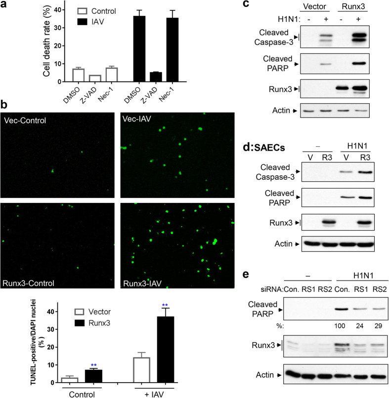 Runx3 is critical for airway epithelial cell apoptosis induced by IAV infection. ( a ) BEAS-2B cells were infected with H1N1 PR/8/34 at MOI of 3 for 24 h in the presence or absence of Z-VAD-FMK (Z-VAD, 20 μM) or necrostatin-1 (Nec-1, 50 μM). Detached and adherent cells were collected separately and counted with trypan blue by using a TC20 automated cell counter and cell death rate (detached dead cells over total detached and adherent cells) was shown. Data are means ± S.E. (n = 3). ( b ) BEAS-2B cells were infected with recombinant adenovirus containing vector alone (Vec) or Runx3, grown for 60 h, then infected with (+) IAV H1N1 at MOI of 1 or treated with control PBS (Control) for 24 h. Representative images (final magnification: ×200) of TUNEL staining and cell apoptotic rate (%) from three independent experiments are shown. Apoptotic rate was determined as TUNEL-positive cells (green color) over total DAPI-stained nuclei by using ImageJ 1.47 software. Data are means ± S.E. (n = 3). **p