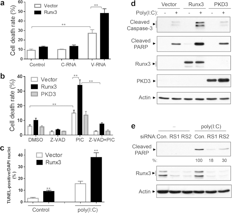 Runx3 promotes airway epithelial cell apoptosis induced by IAV viral RNA and dsRNA poly(I:C). ( a–d ) BEAS-2B cells were infected with recombinant adenovirus containing vector alone, Runx3 or PKD3, and grown for 60 h. ( a ) The cells were then transfected with control H 2 O (control), or total RNA isolated from uninfected BEAS-2B cells (C-RNA, 0.5 μg) or H1N1-infected BEAS-2B cells (V-RNA, 0.5 μg) for 24 h. The cellular death rate (detached dead cells over total detached and adherent cells) was determined by using a TC20 automated cell counter with trypan blue. ( b ) The cells were then left untreated or treated 4 h with high molecular weight poly(I:C) (2 μg/ml) in the presence or absence of Z-VAD-FMK (Z-VAD, 20 μM) and the death rate of the cells was determined. ( c ) The cells were treated with control PBS (Control) or poly(I:C) (2 μg/ml) for 4 h and cellular apoptosis was assessed by TUNEL assay. Cell apoptotic rate was determined as TUNEL-positive cells over total DAPI-stained nuclei ( supplementary Fig. S5 ) by using ImageJ 1.47 software. All Data in ( a–c ) are means ± S.E. of three independent experiments. **p