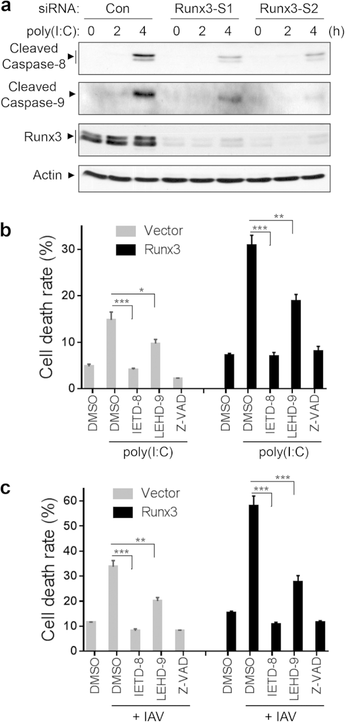 Both the extrinsic and intrinsic pathways are involved in Runx3-promoted cell apoptosis by dsRNA poly(I:C) and IAV infection. ( a ) Runx3 is required for the activation of caspase-8 and caspsas-9 by poly(I:C). BEAS-2B cells were transfected with 20 nM control siRNA (Con.), Runx3 siRNA-1 (Runx3-S1), or Runx3 siRNA-2 (Runx3-S2), grown for 72 h, then treated with high molecular weight poly(I:C) (2 μg/ml) for 0, 2 or 4 h. Equal amounts of cell lysates were subjected to Western blotting with specific antibodies against cleaved caspase-8, cleaved <t>caspase-9,</t> Runx3 or action as indicated. ( b,c ) BEAS-2B cells were infected with recombinant adenovirus containing vector alone or Runx3 and grown for 60 h. The cells were then left untreated or treated with poly(I:C) (2 μg/ml) for 4 h ( b ) or infected with (+) IAV H1N1 at MOI of 3 for 24 h ( c ) in the presence or absence of caspase-8 inhibitor Z-IETD-FMK (IETD-8, 20 μM), caspace-9 inhibitor Z-LEHD-FMK (LEHD-9, 20 μM), or a general caspase inhibitor Z-VAD-FMK (Z-VAD, 20 μM), and cell death rate was assessed as in Figure 7 . All data are means ± S.E. of triplicates. *p