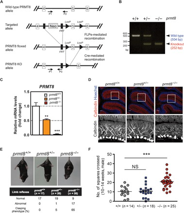 PRMT8 knockout mice display abnormal Purkinje cell dendrites and aberrant behavior. ( A ) Gene targeting strategy for the prmt8 locus: schematic representation of the prmt8 +/+ [wild-type (WT)], prmt8 flox (floxed), and prmt8 −/− (knockout) alleles. Arrows indicate the positions of the P1, P2, and P3 genotyping primers. ( B ) Allele-specific PCR analysis using tail genomic DNA. Products of 504 and 252 base pairs (bp) were generated from prmt8 +/+ and prmt8 −/− mice, respectively. ( C ) prmt8 mRNA levels in 12-week-old mice were examined in total cerebellar RNA by qPCR. Results are shown as fold change of prmt8 mRNA expression relative to the mean WT value. Data were obtained using the ΔΔ C t method with normalization to the reference glyceraldehyde-3-phosphate dehydrogenase ( GAPDH ) mRNA (mean ± SEM, n = 4 per genotype; ** P