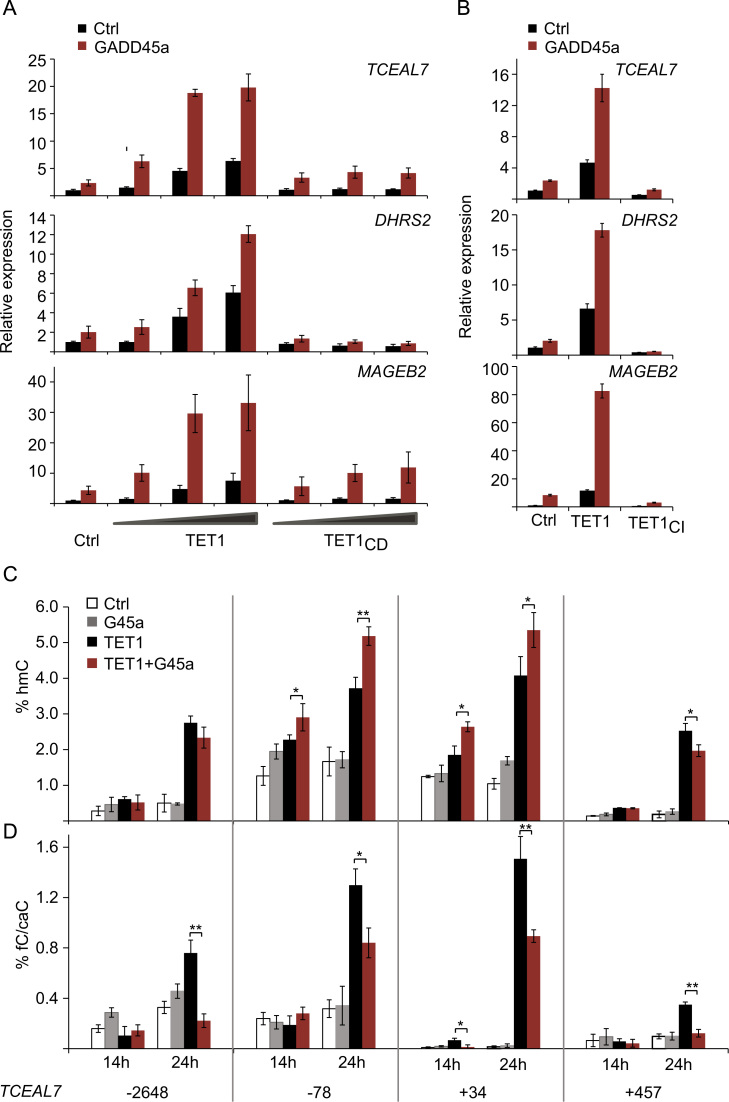 Synergistic target gene activation by GADD45a-TET1 is accompanied by increase in hmC and reduction of fC/caC in promoter CpGs. (A, B) TCEAL7 , DHRS2 , MAGEB2 expression in HEK293T cells upon transfection of empty vector (Ctrl, control), GADD45a (G45a) alone or with increasing doses of TET1, catalytic domain only (TET1 CD ), or catalytically inactive TET1 (TET CI ) as indicated. Relative expression was monitored by qPCR. Bar graphs represent the mean of n =4 (A) or n =3 (B) experiments with error bars as±SD. (C, D) Kinetics of hmC (C) and fC/caC (D) level changes in the TCEAL7 locus upon GADD45a and TET expression. HEK293T cells were transfected with empty vector (Ctrl) or GADD45a (G45a) or TET1 as indicated. Genomic DNA was harvested 14 h or 24 h after transfection. hmC and fC/caC were analyzed at positions −2648, −78, +34 and +457 relative to the transcription start site (TSS). Analysis was by modification-sensitive qPCR following MspI restriction on T4 β-glucosyltransferase (β-GT) treated or control treated plasmid DNA. % of MspI resistance following β-GT treatment is displayed as % hmC. % of MspI resistance in control treated DNA (−β-GT) is displayed as % fC/caC. Bar graphs represent the mean of biological triplicates ( n =3) with error bars as±SD. p -Values: (*) p