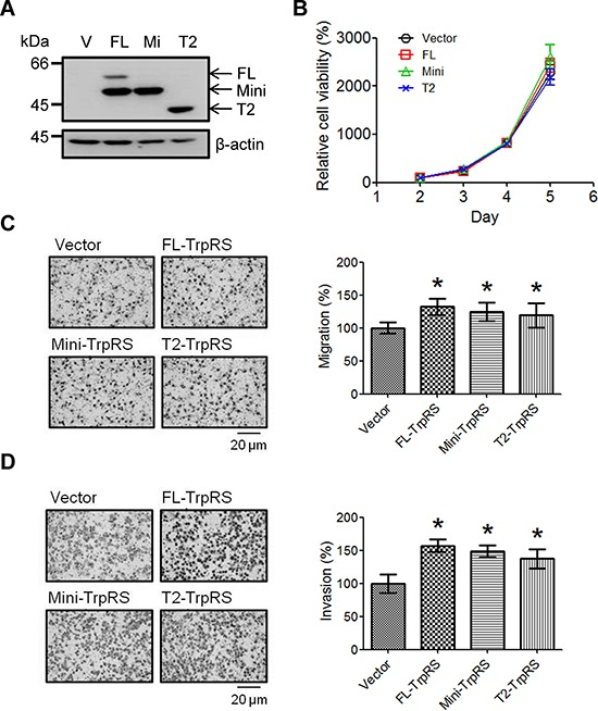 TrpRS overexpression promotes cell migration and invasion A. OEC-M1 cells were transfected with the pcDNA 3.1/Myc-His empty vector (V) or a pcDNA 3.1/Myc-His plasmid carrying one of three isoforms of TrpRS (FL: full-length TrpRS; Mi: mini-TrpRS; or T2: T2-TrpRS) as indicated. At 48 h after transfection, cell lysates were prepared, and the proteins were detected via Western blot using an anti-myc antibody. β-actin was used as the loading control. Simultaneously, transfected cells were subjected to cell counting, migration and invasion assays as described in the Materials and Methods section. B. Quantitative data show the relative percentage of cell viability obtained from three independent cell counting assays. The error bars indicate the standard error of the mean. Quantitative analysis of the migration C. and invasion assays D. Photographs obtained from the migration and invasion assays (left panel). The data are presented as values with standard deviations obtained from three independent experiments (right panel). *, a p value of less than 0.05 indicates significance based on the Mann-Whitney U test.