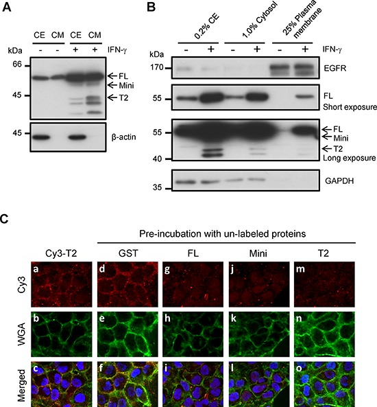 The detection of surface-bound TrpRS on INF-γ-treated OSCC cells A. The detection of intracellular and extracellular TrpRS expressions in IFN-γ-treated OSCC cells. OEC-M1 cells were treated with IFN-γ (200 U/ml) for 24 h. Cell extracts (CE) and CM were obtained from control and IFN-γ treated cells, and the proteins were detected via Western blot using an anti-TrpRS antibody. β-actin was used as the loading control. B. TrpRS was detected in the plasma membrane (PM) fraction of IFN-γ-treated OEC-M1 cells. OEC-M1 cells were treated with IFN-γ (200 U/ml) for 24 h. The whole-cell extract (CE), cytosolic (Cytosol) and PM fractions were prepared as described in the Materials and Methods section. The proteins were subjected to Western blot using anti-EGFR, anti-TrpRS and anti-GAPDH antibodies as indicated. C. Cy3-labeled T2-TrpRS was detected on the cell surface via immunofluorescence staining as described in the Materials and Methods section. Cells pre-incubated without a–c. or with 50 μg/ml unlabeled GST d–f. full-length GST-TrpRS g–i. GST-mini-TrpRS j–l. or GST-T2-TrpRS m–o. are presented. The Cy3-labeled T2-TrpRS (red), WGA (green) and merged images are presented as indicated. DNA was stained with Hoechst 33258 (blue).