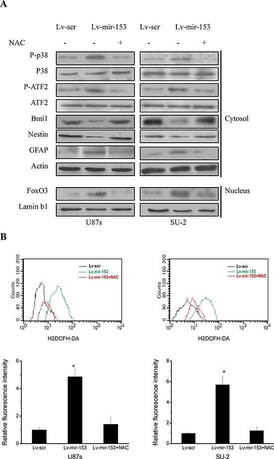 MiR-153 overexpression decreased stemness and induced differentiation through ROS-mediated activation of p38 MAPK in GSCs A. Detection of protein expression of p38 MAPK signaling pathway, stem cell markers and differentiation markers by Western blot. B. Flow cytometric analysis of ROS formation in GSCs with miR-153 overexpression in the presence and absence of an antioxidant N-acetylcysteine (NAC). * P