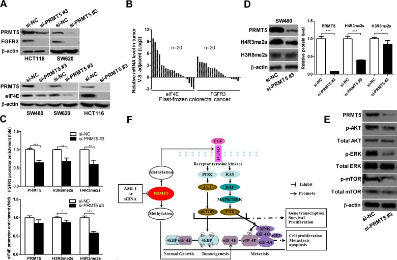 PRMT5 knockdown represses FGFR3 and eIF4E expression and decreases H3R8 and H4R3 methylation on their promoters A. HCT116, SW620, and SW480 cells were transfected with si-NC or si-PRMT5. FGFR3 and eIF4E protein were analyzed by immunoblot 72 h later. B. FGFR3 and eIF4E mRNA expression in CRC tissues was analyzed by qRT-PCR. C. ChIP assays were performed in SW480 cells with antibodies (PRMT5, H3R8, H4R3 and normal IgG), and qRT-PCR with primers targeting control region or part of FGFR3 or eIF4E gene promoter. D. SW480 cell were transfected with si-NC or si-PRMT5 and protein expression of H4R3me2s and H3R8me2s was analyzed by Western blot 72 h later. E. SW480 cell were transfected with si-NC or si-PRMT5 and the expression of indicated proteins was analyzed by Western blot 72 h later. F. Proposed molecular mechanisms by which PRMT5 promotes CRC. PRMT5 overexpression promotes the activation of FGFR3, AKT, mTOR, ERK and eIF4E, leading to CRC cell growth, survival and migration. PRMT5 knockdown or inhibition by AMI-1 results in the downregulation of FGFR3, AKT, mTOR, ERK and eIF4E, leading to the inhibition of CRC cell growth, survival and migration.