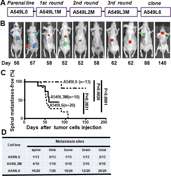 Establishment of the spinal metastasis model A. In vivo selection scheme for the spinal metastatic subpopulations from the A549 lung adenocarcinoma cell line. Luciferase-labeled A549 cells (A549L0) were intracardially inoculated into nude mice. Spinal metastases were monitored by BLI after injection. Tumor cells were extracted from spinal metastases and selected by G418, then reinoculated after expansion in culture. After three rounds of in vivo selection, ten subclones including A549L6 were selected and re-inoculated into mice to evaluate their metastatic phenotype. B. Nude mice were intracardially inoculated with 1×10 5 A549L6 cells and monitored using bioluminescence imaging ( n = 20). 10 representative mice are shown. C. Kaplan-Meier analysis of spinal metastases-free survival according to BLI. D. The target organs of the original A549 cells (A549L0), the 3 rd round spine metastasis cancer cells (A549L3M), and the spinal metastatic cancer cells (A549L6) in nude mice.
