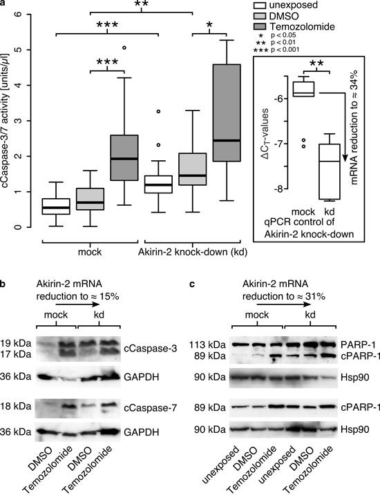 Akirin-2 mediated chemoresistance could be abolished by RNAi technology as measured by (a) cleaved (c)Caspase-3/-7 activity assay, (b) cCaspase-3 and -7 and (c) cleaved (c)poly(ADP-ribose) polymerase-1 (cPARP-1) Western Blots a. In relation to mock transfected T98G cells Akirin-2 knock down (kd) was able to induce cell death to significantly greater extents in dimethylsulfoxide (DMSO) as well as in TMZ (400 μg/ml, 24 h) treated samples (n = 6; triple values; boxplot: bold line = median; box = upper and lower quartile; whisker = 1.5-fold of interquartile range, circles = outlier). b. Results were confirmed by Western Blot using specific antibodies directed against cCaspase-3 and -7, respectively. c. PARP-1 Western Blot using two different antibodies specifically directed against cleaved PARP-1 (bottom) or both uncleaved and cleaved PARP-1 (top) additionally approved results. Equal protein loading was confirmed by detection of glycerinaldehyde-3-phosphate-dehydrogenase (GAPDH) or heat shock protein 90 (Hsp90), and efficiency of knock down was proven by qRT-PCR for all experiments in parallel. Representative examples of two independent experiments are shown.