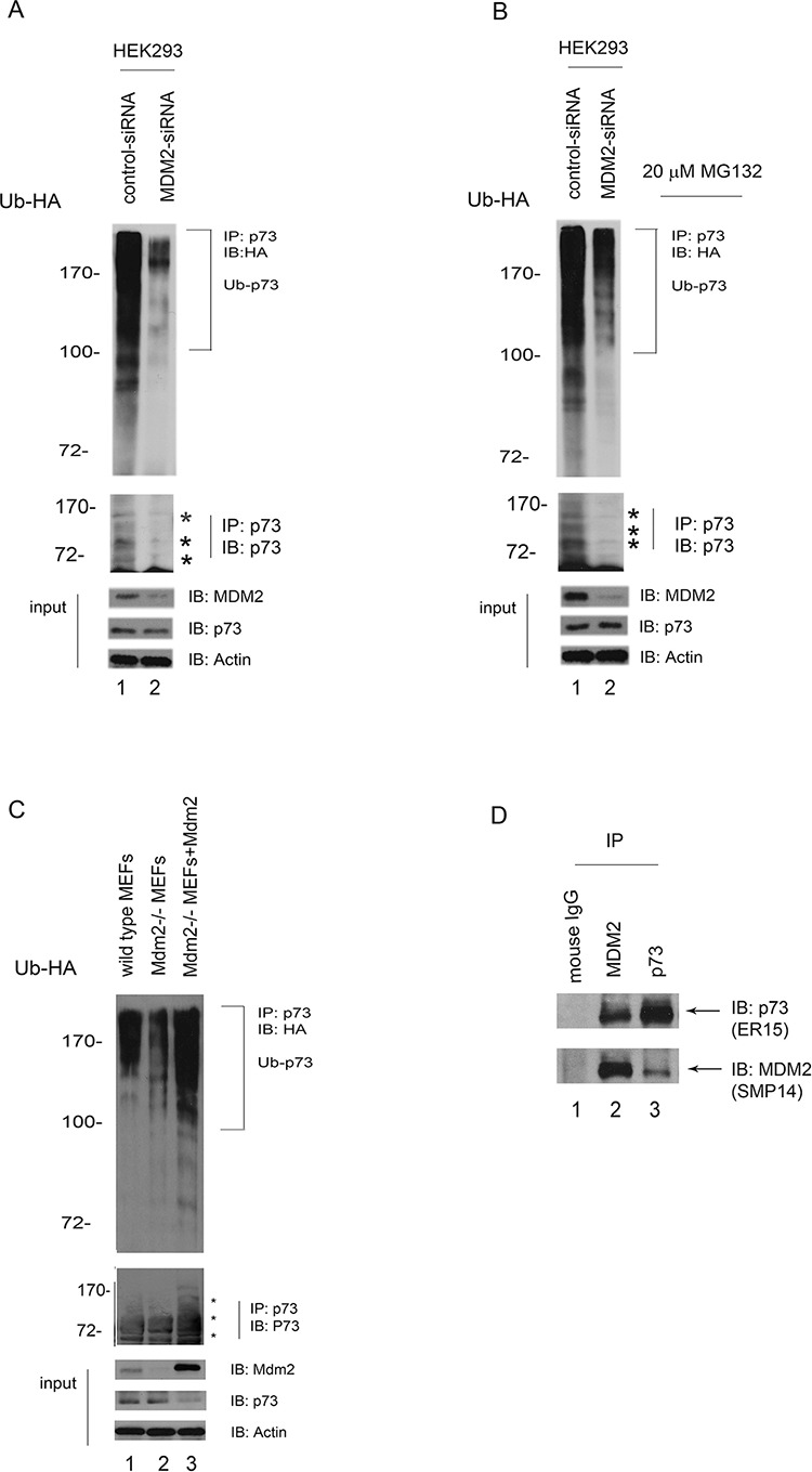 MDM2 is required for p73 ubiquitination in vivo A. HEK293 cells were transfected with MDM2-siRNA or control-siRNA constructs. Forty hours later, the cells were further transfected with a plasmid expressing HA-Ub. Lysates were immunoprecipitated with a p73specific antibody (ER-15) and analyzed by western blotting with an HA-specific antibody to detect ubiquitinated p73. The western blots for p73, MDM2, and actin are shown in the lower panel. B. The same procedure as (A) was used, except that after the second transfection with the HA-Ub expression plasmid, the cells were treated with the proteasome inhibitor MG132 (20 μM) 6 hr prior to harvest. C. Similar to (A) except that the cell extracts were obtained from the wild-type mouse embryonic fibroblasts (MEFs) and Mdm2 null MEFs. In addition, Mdm2 expression plasmid was reintroduced into Mdm2 null MEFs (lane 3). D. HEK293 cells were immunoprecipitated with anti-p73 (ER-15) or anti-MDM2 (SMP14) as indicated, and immunoblotted with antip73 (upper image, ER-15) and anti-MDM2 antibodies (lower image).