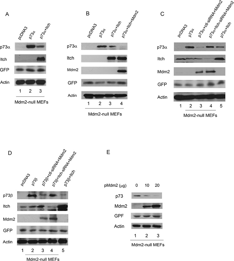 Overexpression of Mdm2 promotes p73 degradation in Mdm2-null MEFs A. Mdm2 null MEFs were transfected with plasmids expressing p73α or an empty vector with Myc-tagged Itch, along with a GFP expressing plasmid (pEGFP) and analyzed by western blotting with a p73-specific antibody (H-79), a Myc-specific antibody for Myc-Itch, a GFP-specific antibody (B-2), and actin as a loading control. B. The same procedure as (A) was used, except that Mdm2 null MEFs were cotransfected with plasmids expressing GFP, p73α along with Itch and Mdm2. C. and D. Mdm2-null MEFs were transfected with an Itch-specific siRNA or a control siRNA. Thirty hours later, the cells were transfected with plasmids expressing GFP, Mdm2 and analyzed by western blot using anti-p73, anti-Itch, anti-p53 (Pab421), anti-GFP (B-2), and anti-Mdm2 (MD-219) antibodies as indicated. E. Mdm2-null MEFs were transfected with plasmids expressing GFP and increased amounts of Mdm2 and analyzed by western blotting with p73-specific (H-79), GFP-specific (B-2) and Mdm2-specific (MD-219) antibodies.
