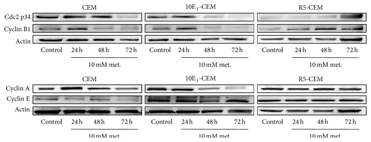 The effect of metformin on cell cycle regulatory proteins. Western blot analysis of cdc2 p34, cyclin A, cyclin B1, and cyclin E in CEM, 10E 1 -CEM, and R5-CEM cells treated with metformin (10 mM) for the times indicated. Representative results of three independent assays performed are shown.