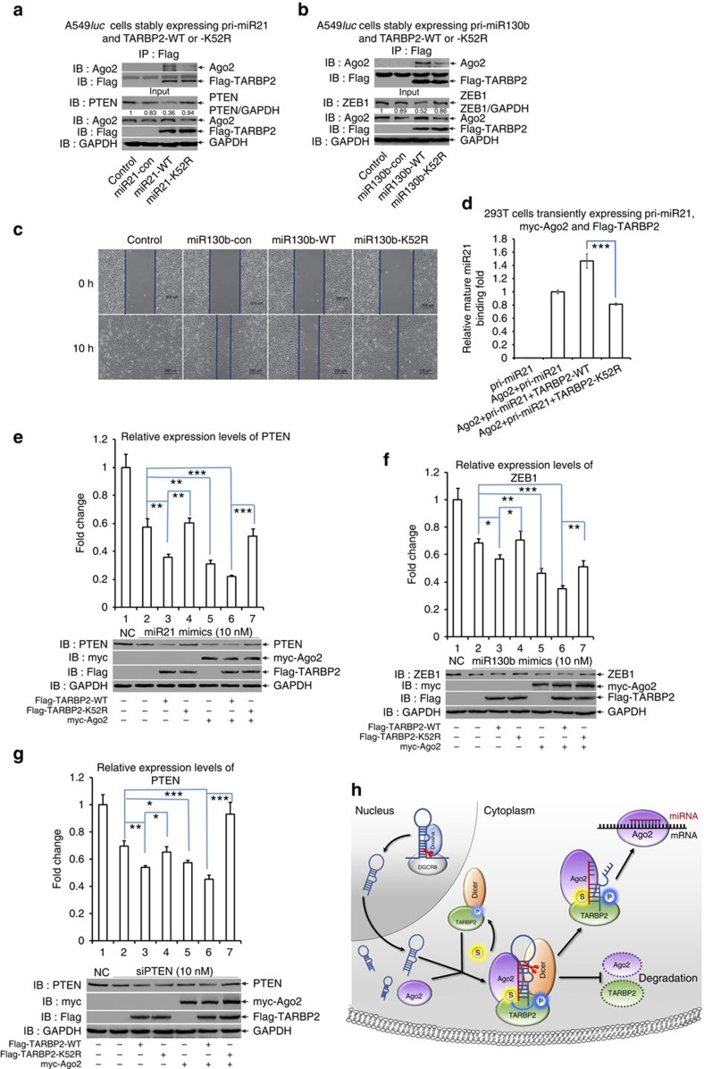 SUMOylation of TARBP2 controls miRNA/siRNA efficiency. ( a , b ) SUMOylation of TARBP2 is required for efficient RNA-induced gene silencing by recruiting more Ago2. A549 luc cell lines stably expressing pri-miRNA21 and Flag-TARBP2-WT or -K52R ( a , named as miR21-WT or miR21-K52R, respectively), or pri-miR130b and Flag-TARBP2-WT or -K52R ( b , named as miR130b-WT and miR130b-K52R, respectively) were generated by the <t>lentiviral</t> system. Cell lysates were used for IP with anti-Flag antibody and then detected with anti-Ago2 antibody. Cell lysates were used for immunoblotting with anti-Ago2, -GAPDH, -Flag and -PTEN ( a ) or -ZEB1 ( b ) antibodies. For full scans of western blots, see Supplementary Fig. 8 . ( c ) The SUMO-site mutation K52R of TARBP2 dominant-negatively abolishes inhibition of cell migration mediated by miR130b-ZEB1. Cell motilities of stable A549 luc cell lines including Control, miR130b-con, miR130b-WT and miR130b-K52R were analysed by a wound-healing assay with μ-Dish. ( d ) RIP assay was performed with 293T cells transfected with pri-miR21, myc-Ago2 and Flag-TARBP2-WT or -K52R. Thirty-six hours after transfection, cells were lysed for IP with anti-myc antibody to pull down RNA. Ago2-bound mature miR21 was extracted and analysed by real-time quantitative PCR. ( e – g ) SUMOylation of TARBP2 influences the efficiency of miRNA or siRNA mimic duplexes via the formation of the functional RISC. TARBP2-WT or -K52R with/without Ago2, together with miR21 ( e ), miR130b ( f ), mimic duplexes or siPTEN (siRNA for PTEN; g ) were co-transfected into HeLa cells, and the expression levels of the corresponding targets PTEN, ZEB1 and PTEN were determined. Immunoblotting was performed with anti-PTEN, anti-ZEB1, anti-Myc, anti-Flag and anti-GAPDH antibodies. ( h ) A model for SUMOylation of TARBP2 controls the efficiency of RNA-induced gene silencing by increasing its interaction with Ago2 and precursor miRNAs/siRNAs. 'S'—SUMOylation; 'P'—Phosphorylation.