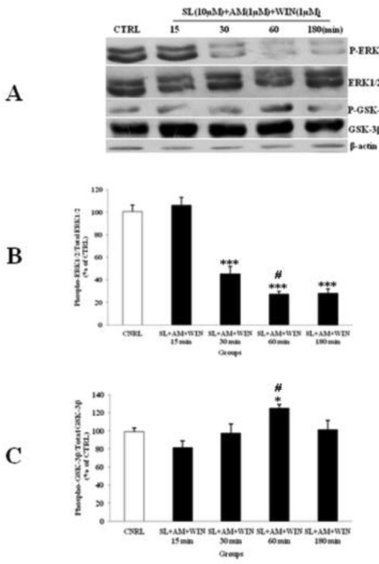 The effect of SL327 (SL) pre-treated to WIN 55, 212-2 (WIN) and AM251 (AM) on the phosphorylated-ERK1/2 (p-ERK1/2), total ERK1/2, phosphorylated-GSK-3β (p-GSK-3β) and total GSK-3β expression in cerebellar granular cells (CGNs). CGNs were pre-treated with SL (10 µM), 30 min before added WIN (1 µM) and AM (1 µM), and the cell lysates were prepared after 15, 30, 60 and 180 minutes. The protein expression was analyzed by western blotting. The p-ERK1/2 and ERK1/2 expression (A and B), and the p-GSK-3β and GSK-3β expression (A and C), were evaluated. The protein expression was normalized to β-actin as internal control (CTRL). The band intensity was measured and presented as the percent of un-treated cells (CTRL). All data were presented as Mean ± SD. Statistically significant values are presented as follows: *** p