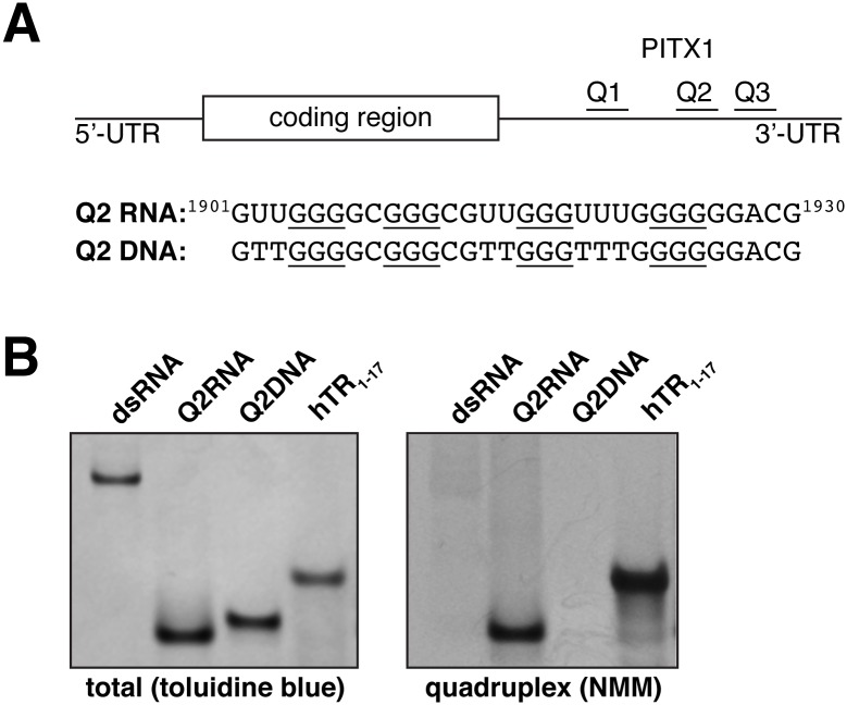 Q2RNA, but not Q2DNA, stains with a parallel G4 dye. (A) Schematic showing the G4 forming regions of PITX1 mRNA; the RNA and DNA equivalent sequences with the guanylate tracts underlined are also shown. 250 pmol of Q2RNA and Q2DNA were separated by native-Tris-borate EDTA (TBE) polyacrylamide gel electrophoresis, stained with (B) toluidine blue, and (C) G4-specific dye N -methyl mesoporphyrin IX alongside their positive (G4: hTR 1-17 ) and negative (double stranded RNA) controls.