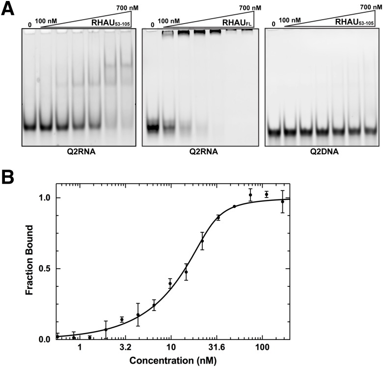 RHAU 53-105 forms a complex with Q2RNA. (A) Electrophoretic mobility shift assays (EMSA) were performed using a constant 150 nM concentration of Q2RNA or Q2DNA and a variable concentration from 0–700 nM of RHAU 53-105 or full-length RHAU. The 12% native Tris borate-EDTA (TBE) polyacrylamide gels were stained with SYBR Gold for visualization. (B) Microscale thermophoresis measurements performed using 3'-FAM Q2RNA (25 nM) in complex with RHAU 53-105 at several concentrations (0.6–250 nM). Reverse T-Jump signals from the traces were fit as described in the Materials Methods.