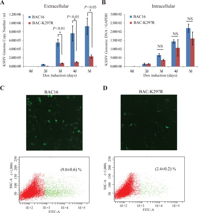 Effect of the K297R mutation on progeny virus release. iSLK-BAC16 and iSLK-BAC-K297R cells were induced with Dox and butyrate for indicated time. The extracellular virions were collected from culture media and treated with Turbo DNase I. Viral DNAs were extracted and KSHV genomic DNA copy numbers were estimated by qPCR along with external standards of known concentrations of the viral DNA with primers against the ORF73 gene (A). Intracellular KSHV genomic DNAs were extracted from harvested cells and quantitated by qPCR as above (B). (*,  p