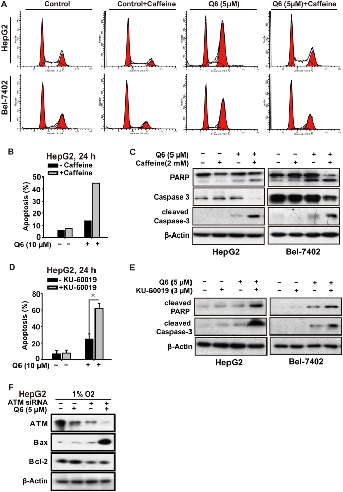 Q6 induced G2/M arrest and apoptosis is ATM/Chk2 dependent in hypoxia. A. HepG2 and Bel-7402 cells, treated with Q6 (5 μM) in the presence or absence of caffeine (2 mM) for 24 h under hypoxia (1% O 2 ), were collected and prepared for cytometric analysis of cell cycle distribution. B C. HepG2 cells treated with Q6 (10 μM) in the presence or absence of caffeine (2 mM) for 24 h under hypoxia (1% O 2 ). Detection of apoptosis by flow cytometry (B) and caspase cascade by Western blot (C) were then performed. D E. HepG2 cells treated with Q6 in the presence or absence of ATM specific inhibitor <t>KU-60019</t> (3 μM) under hypoxia (1% O 2 ), and subjected to sub-G1 analyses (D) and Western blot analyses (E), respectively. F. Western blot was used to assess the role of ATM during apoptosis induced by Q6 in hypoxia. HepG2 cells were treated with ATM RNAi or vector RNAi in the presence or absence of Q6 (5 μM) under hypoxia (1% O 2 ) condition.