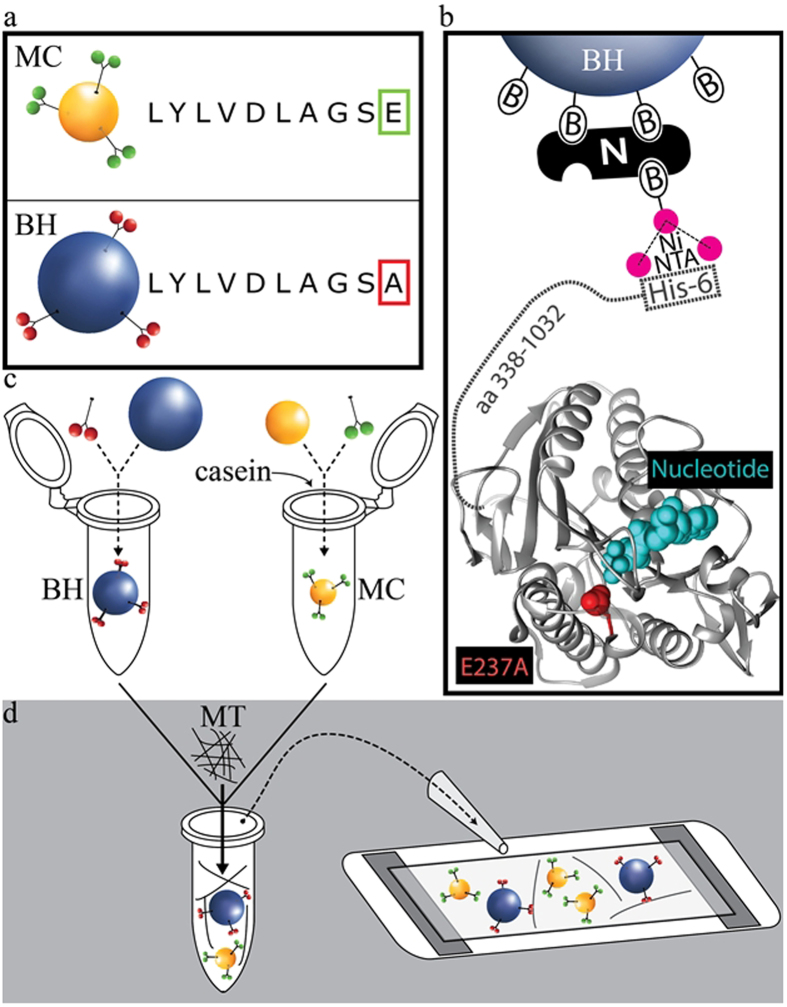 Basic BH-MT tethering strategy and preparation of assay constituents. ( a ) Motorized cargos are functionalized with WT hKIF5A while bead handles are functionalized with non-motile mutant hKIF5A (E237A). Construct sequences for kinesin-1 are otherwise identical, consisting of full length KHC and a HIS6 tag at the C-terminus. ( b ) BHs are specifically bound to E237A hKIF5A via a biotin-neutravidin-biotin sandwich (B-N-B in the figure) functionalized with a Nickel-activated tris-NTA molecule that binds with high affinity to the HIS6 tag on the E237A hKIF5A construct. Protein structure shows kinesin-1 motor domain. E237A mutation is highlighted in red and is in close proximity with a nucleotide (cyan). ( c , d ) BHs and MCs are prepared separately (see Methods), then combined together with MTs in assay buffer and finally are introduced into a flow chamber to allow filament network assembly.