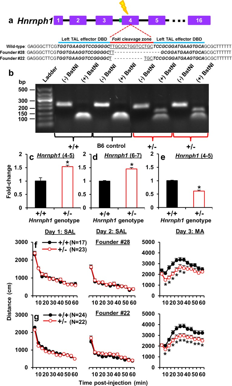 TALENS-targeted frameshift deletions in Hnrnph 1 +/- mice reveal Hnrnph1 as a quantitative trait gene for MA sensitivity. (a): Left TAL effector (50,191,867–50,191,883 bp) and right TAL effector (50,191,899–50,191,915 bp) separated by the Fok I cleavage zone were used to introduce frameshift deletions in the first coding exon of Hnrnph1 (exon 4) that resulted in premature stop codons ( S8 Fig ). Founder #28 contained a 16 bp deletion and Founder #22 contained an 11 bp deletion. ( b): A PCR amplicon capturing the Fok I cleavage zone was digested with BstNI. Hnrnph1 +/+ mice contained two copies of a functional BstNI restriction site and thus, restriction digest produced a single band containing digested fragments of equal size. Hnrnph1 +/- mice were heterozygous for a deletion of the BstNI site and showed both the digested band and a larger, undigested band. Gel band lanes were cropped and re-ordered to present wild-type first (+/+) followed by B6 control, and heterozygous samples (+/-). ( c): There was a significant upregulation of total Hnrnph1 transcript levels in Hnrnph1 +/- mice as indicated by cDNA amplification using qPCR primers spanning exons 4–5 that hybridized to both genotypes (t 6 = 5.69; p = 0.0013). ( d): An upregulation of total Hnrnph1 transcript levels was also indicated by cDNA amplification using qPCR primers spanning untargeted exons 6–7 (t 6 = 8.53; p = 0.00014). (e): A significant downregulation of the Hnrnph1 +/+ transcript levels was observed in Hnrnph1 +/- mice that was indicated by cDNA amplification using primers spanning exons 4–5, one of which hybridized to the deleted Hnrnph1 +/+ sequence (t 6 = 9.45; p = 0.00091; Fig 5e). *p