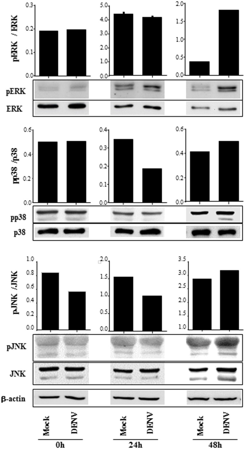 B cell infection by DENV promotes MAPK phosphorylation. B lymphocytes were mock-treated or cultured with DENV2 (MOI = 1). The cells were harvested after 2h, 24h or 48h p.i., and the expression of ERK, p38 and JNK MAPK were analyzed in the cell lysates by western blotting, using the indicated antibodies. The bars indicate the ratio between the analyzed phosphorylated protein and the corresponding non phosphorylated one; β actin staining were performed as a loading control and is shown in the bottom of the figure. Data are representative of three independent experiments.