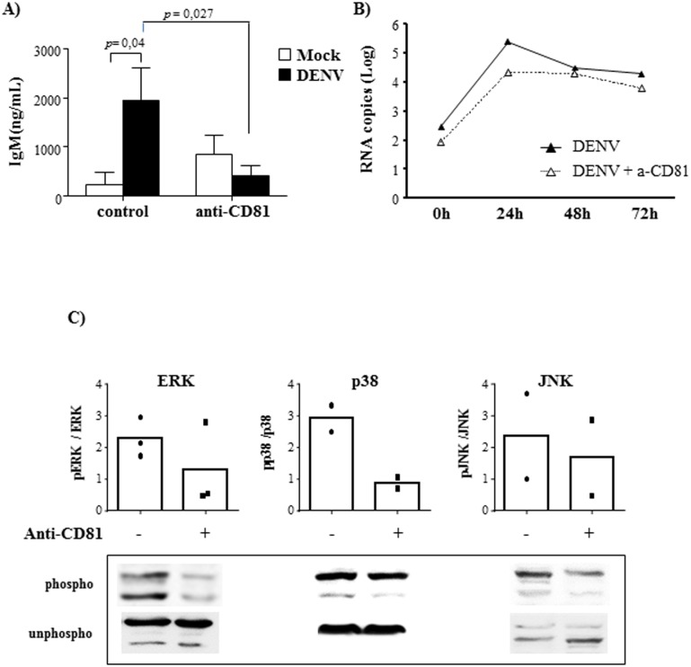 DENV-induced B cell activation depends on CD81 activation. B lymphocytes were mock-treated or cultured with DENV2 (MOI = 1) in the presence or absence of anti-CD81 neutralizing antibody. A) At 12 days post infection, the supernatants were harvested and IgM levels were measured by ELISA. Data are representative of four independent experiments. Statistical analysis were performed and p values are indicated in the figures. B) The cells were harvested after different time points and DENV RNA levels were evaluated by qRT-PCR. Data are representative of three independent experiments. C) After 48h, the cells were harvested and the expression of ERK, p38 and JNK MAPK, phosphorylated (phospho) or not (unphospho) were analyzed in the cell lysates by western blotting, as indicated. The bars indicate the ratio between the analyzed phosphorylated protein and the corresponding unphosphorylated one; dots represent individual data.