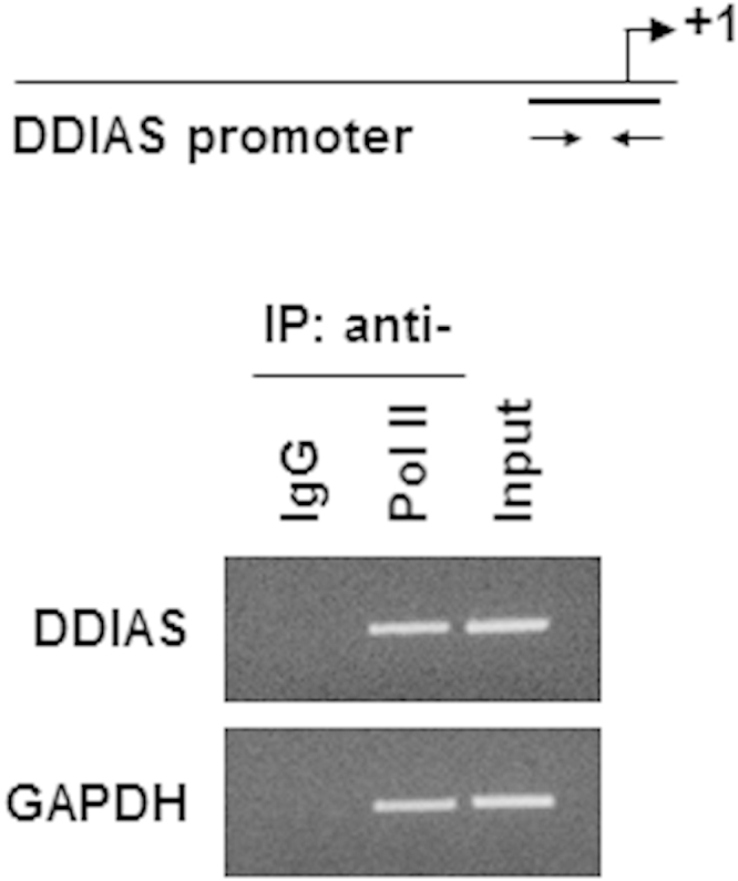 ChIP assay of RNA polymerase (ser5) in HEK293 cells. RNA polymerase II (phospho-ser5) binding to the DDIAS promoter in HEK293 cells. A ChIP assay was performed using an anti-RNA pol II antibody. An anti-IgG antibody was used as a negative control. PCR amplification was performed using the indicated DDIAS promoter-specific primers or control primers specific for GAPDH .