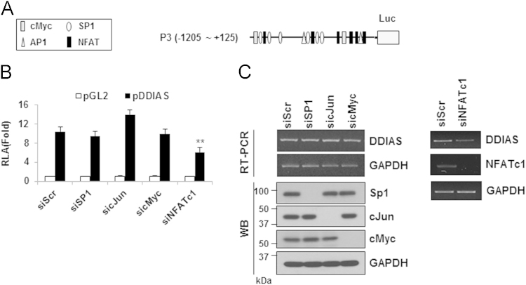 Putative transcription factor binding sites at P3 of the DDIAS promoter in HEK293 cells. (A) Putative transcription binding sites at P3 of the DDIAS promoter. (B–C) The effects of putative transcription factor knockdown were examined using a luciferase reporter assay (B); DDIAS mRNA and protein expression were evaluated using RT-PCR and Western blotting, respectively (C). HEK293 cells were transfected with siRNAs for SP1, cJun, and cMyc; scrambled siRNA was used as a control. All data are shown as means±standard errors of the mean (S.E.M).