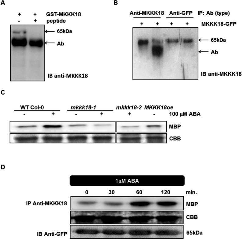 ABA induces rapid MKKK18 activation in tobacco. (A–C) Generation of MKKK18-specific antibodies. (A) MKKK18 peptide competition assay. Recombinant GST–MKKK18 protein was incubated with anti-MKKK18 with and without 45 µg of blocking peptide. A single band of approximatley 65 kDa specific to GST–MKKK18 is absent in the immunoprecipitates containing the blocking peptide. Immunodetection was performed using anti-MKKK18 antibody. (B) MKKK18–GFP protein immunoprecipitated from tobacco total protein extracts using increasing amounts of anti-MKKK18 and anti-GFP antibodies. The MKKK18–GFP protein was precipitated by 3 µl (lane 1) or 10 µl (lane 2) of MKKK18 antiserum and 0.6 µg (lane 3) or 1.2 µg (lane 4) of anti-GFP antibody, respectively. Immunoblotting with anti-MKKK18 antibodies confirmed the presence of MKKK18–GFP fusion protein. Arrows/Ab indicate anti-MKKK18 antibodies (visible as a band in lane 2) where excess anti-MKKK18 antibody was used in the immunoprecipitation reaction. The 65 kDa band represents MKKK18–GFP protein. (C) Analysis of MKKK18 activity in the mkkk18 knockout lines. MKKK18 protein was immunoprecipitated from 600 µg of total protein extract isolated from ABA-treated WT Col-0, mkkk18-1 , mkkk18-2 and MKKK18oe using specific anti-MKKK18 antibodies. Immunocomplex activity was determined using MBP (2 µg) as a substrate. Coomassie Brilliant Blue (CBB) staining of MBP confirmed equal loading. (D) Tobacco plants infiltrated with Agrobacterium strain C58C1 harboring 35S:MKKK18-GFP and 35S:p19 constructs for transient expression. Four to five days after infiltration, the tobacco plants were treated with ABA and tissue samples were collected at the indicated time points. MKKK18 activity was assessed by the immunocomplex assay using anti-MKKK18 antibody and MBP as a substrate. MKKK18–GFP was detected with anti-GFP antibody. CBB staining of MBP confirmed equal loading. The above experiments were repeated several times with similar results.