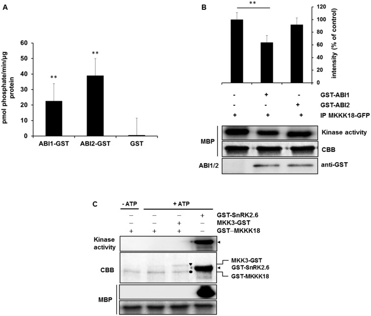 ABI1 inhibits <t>MKKK18</t> activity. (A) Phosphatase activity of recombinant ABI1 and ABI2 proteins. The enzyme reactions were performed in a 50 µl final volume containing 3–5 µg pf <t>GST–ABI1</t> or GST–ABI2. The results presented are the means from three independent biological replicates. (B) ABI1 inactivates MKKK18. The MKKK18–GFP immunocomplex was incubated with 3 µg of GST–ABI1 and GST–ABI2 (as a negative control), after which the kinase activity was determined with MBP as a substrate. Equal loading was confirmed by Coomassie Brilliant Blue (CBB) staining of MBP. The 32 P-labeled MBP bands were quantified and then normalized against the intensity of the corresponding control band using ImageJ software. Data are means ± SD of the relative band intensities from three independent experiments. An asterisk (*) indicates statistically significant changes determined using Student's t -test. (C) Recombinant MKKK18 has no autophosphorylation activity in vitro . GST–MKKK18 was incubated with MBP or/and MKK3, without or in the presence of [ 32 P]ATP. Bands of GST–MKKK18, MKK3–GST and GST–SnRK2.6 are indicated by a filled circle, a triangle and an arrow, respectively. Protein loading was confirmed by CBB staining. The blots shown are representative of three independent trials.