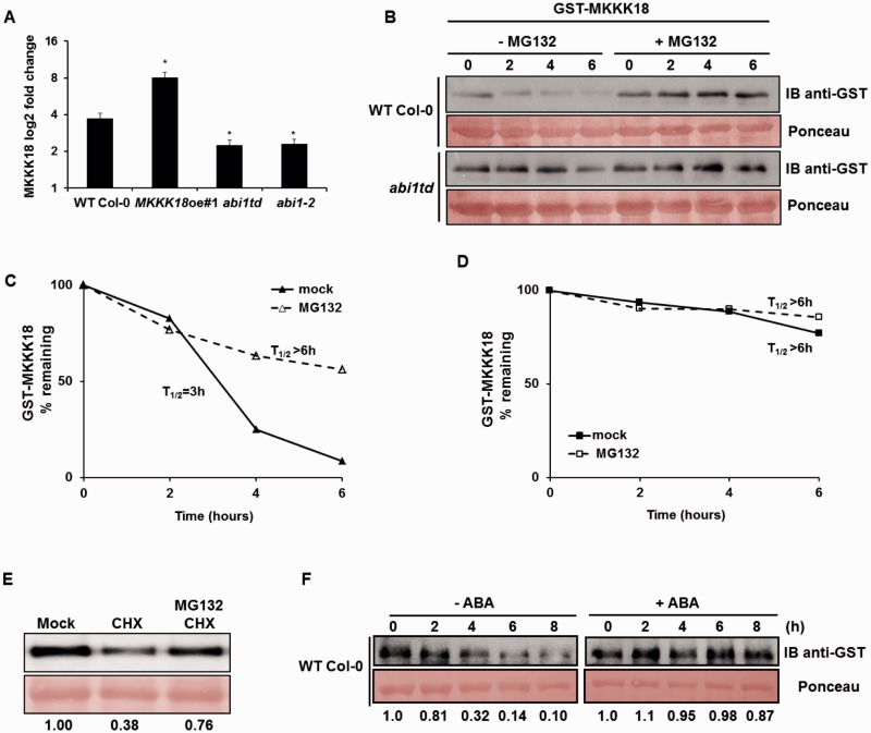 Proteasome-dependent degradation of MKKK18 is ABA-dependent and regulated by ABI1. (A) qPCR analysis of MKKK18 transcript accumulation in response to treatment with 50 µM ABA for 90 min in WT Col-0, MKKK18oe , abi1td and abi1-2 strains. MKKK18 expression levels were determined using three biological replicates and were normalized against 18S rDNA. The results are displayed as mean log 2 fold change ± SE ( n = 9) of three independent experiments with consistent results. (B) MKKK18 stability in the cell-free degradation assay. GST–MKKK18 was incubated with 100 µg of protein extract from either WT Col-0 or abi1td protoplasts incubated with or without 100 µM MG132 for 6 h in the dark. GST–MKKK18 protein levels at the indicated time points were determined by immunoblotting using anti-GST antibodies. Ponceau S staining confirmed equal loading. (C and D) Half-life plot for cell-free degradation of MKKK18 in WT Col-0 (C) and abi1td (D) extracts. Immunoblot images from each experiment were recorded simultaneously using a G:BOX Chemi XR5 fluorescence and chemiluminescence imaging system (Syngene), and the results were quantified using ImageJ software. (E) CHX treatment suppresses accumulation of MKKK18. Arabidopsis protoplasts expressing 35S:MKKK18-GFP were treated with 3 mM CHX, 3 mM CHX and 100 µM MG132, or given a mock treatment. The blot is representative of four experiments. MKKK18–GFP protein levels were determined by immunoblotting using anti-GFP antibodies. Ponceau S staining confirmed equal loading. MKKK18 protein bands were quantified using ImageJ software and normalized to the control (mock) band (set as 1). (F) MKKK18 protein levels are modified by ABA. GST–MKKK18 was incubated with 100 µg of total protein extract isolated from WT Col-0 incubated with or without 50 µM ABA for 3 h in the dark. GST–MKKK18 protein levels at the indicated time points were determined by immunoblotting using GST antibodies. Ponceau S staining confirmed equal loading. MKKK18 protein bands were quantified using ImageJ software and normalized to the control band (set as 1).