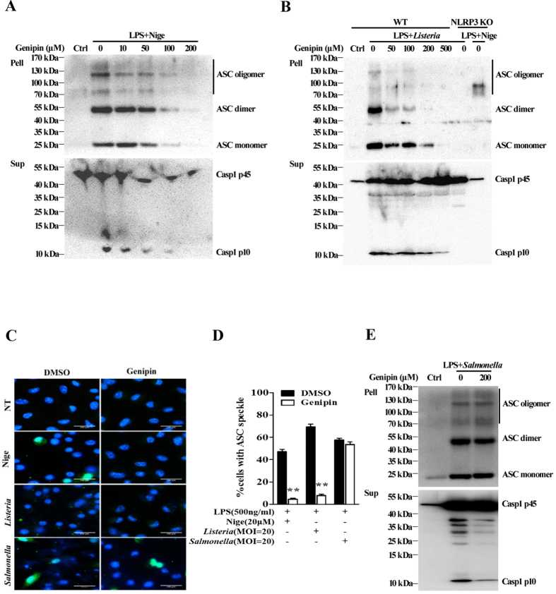 Genipin prevents NLRP3-mediated, but not NLRC4-mediated, ASC oligomerization. ( A ) LPS-primed BMDMs were pretreated with the indicated doses of genipin for 1 h and then stimulated with nigericin. The cells were extracted with 0.5% Triton X-100, and Triton-insoluble pellets were cross-linked with DSS. The cross-linked pellets were immunoblotted for ASC as described in the Materials and Methods section. The culture supernatants were immunoblotted for caspase-1. ( B ) LPS-primed wild-type (WT) or NLRP3 KO BMDMs were pretreated with the indicated doses of genipin, followed by Listeria or nigericin challenge. The cell pellets cross-linked with DSS were immunoblotted for ASC, and cell supernatants were immunoblotted for caspase-1. ( C ) LPS-primed BMDMs were stimulated with nigericin, Listeria or Salmonella in the absence or presence of genipin. The cells were fixed, permeabilized and stained for ASC (green). DAPI was used to label nuclei (blue). ( D ) The percentage of cells containing ASC speckles was quantified from three different view fields. ( E ) LPS-primed BMDMs were either not treated or pretreated with genipin, followed by Salmonella challenge. The cross-linked pellets were immunoblotted for ASC, and the culture supernatants were immunoblotted for caspase-1. The data are representative of three independent experiments. ** P