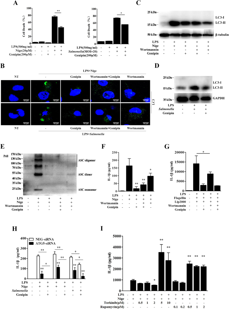 Genipin inhibits autophagy-dependent inflammasome activation. ( A ) Analysis of the cell death phenotype by Annexin-V/PI staining. LPS-primed BMDMs were pretreated with genipin and then stimulated with nigericin or Salmonella . The cells were stained with Annexin-V and PI. The percentage of cells positive for both Annexin V and PI is shown. ( B ) LPS-primed BMDMs were incubated with genipin and/or 5 μM wortm annin for 1 h and then stimulated with nigericin or Salmonella . The cells were fixed, permeabilized and stained for LC3. LC3 is shown in green, and cell nuclei are shown in blue (DAPI). ( C , D ) LPS-primed BMDMs were incubated with genipin and/or wortmannin and then stimulated with nigericin or Salmonella . The cell lysates were immunoblotted for LC3, β-tubulin or GAPDH. ( E ) LPS-primed BMDMs were incubated with genipin and/or wortmannin and then stimulated with nigericin. The cross-linked pellets were immunoblotted for ASC. ( F,G ) LPS-primed BMDMs were incubated with genipin and/or wortmannin and then stimulated with nigericin or flagellin. IL-1β secretion was measured by ELISA. ( H ) BMDMs were transfected with either siRNA targeting ATG5 or scrambled siRNA (NEG). Forty-eight hours after transfection, the cells were primed with LPS for 4 h and then stimulated with genipin before nigericin or Salmonella challenge. IL-1β secretion was measured by ELISA. ( I ) LPS-primed BMDMs were incubated with the indicated doses of torkinib or rapamycin for 1 h and then stimulated with nigericin. IL-1β secretion was measured by ELISA. The data are from three independent experiments conducted in triplicate. * P