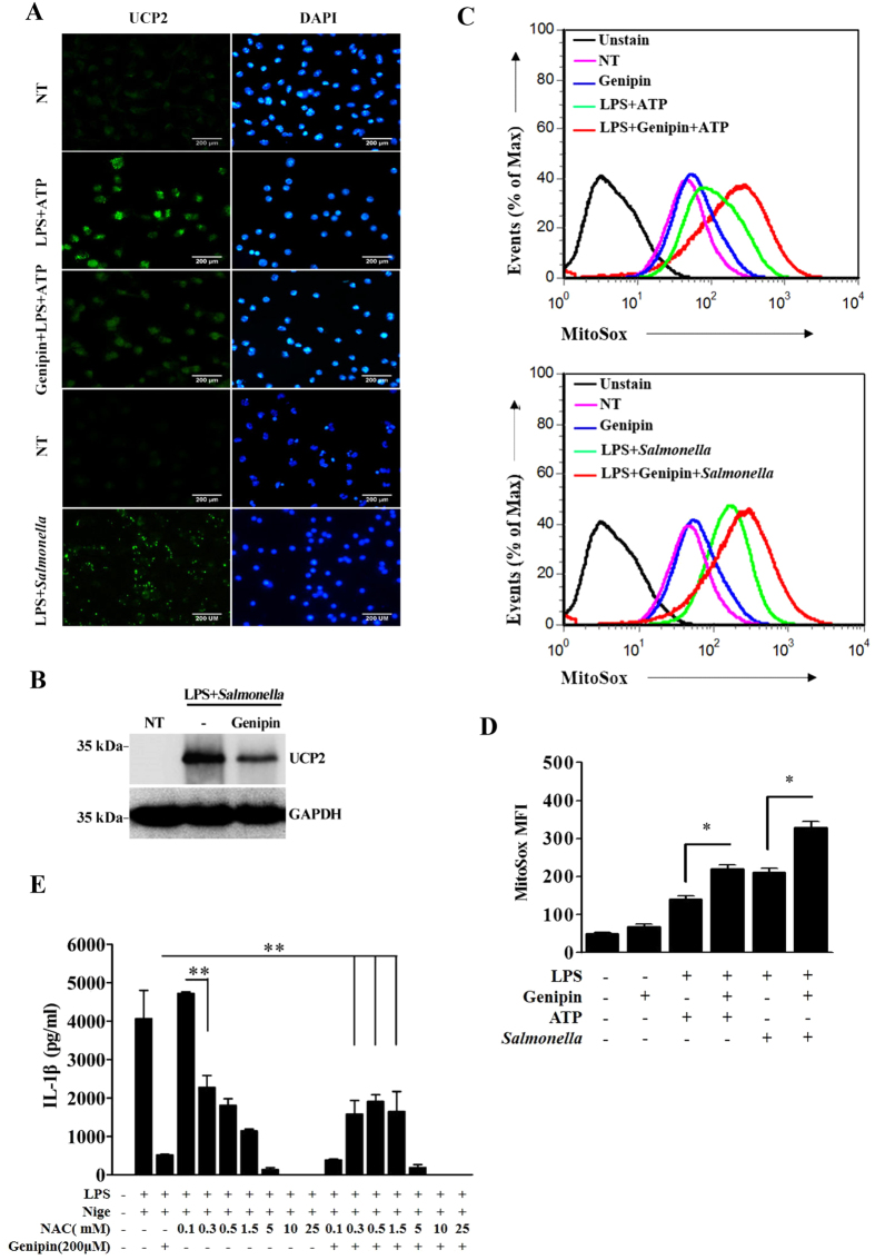 Genipin inhibits UCP2 expression and induces ROS accumulation. ( A ) LPS-primed BMDMs were pretreated with genipin and then stimulated with ATP or Salmonella . The cells were fixed, permeabilized and stained for UCP2 (green). DAPI was used to label nuclei (blue). ( B ) LPS-primed BMDMs stimulated with genipin and/or Salmonella were lysed and blotted for UCP2. ( C ) LPS-primed BMDMs were stimulated with genipin and/or ATP and/or Salmonella . The cells were incubated with MitoSox Red for 10 min and analyzed using a FACSAria flow cytometer. ( D ) MitoSox MFI was analyzed using FCS express. ( E ) LPS-primed BMDMs were pretreated with genipin and/or NAC at the indicated doses and then stimulated with nigericin. IL-1β release in the cell supernatants was determined by ELISA. The data are representative of three independent experiments. ** P