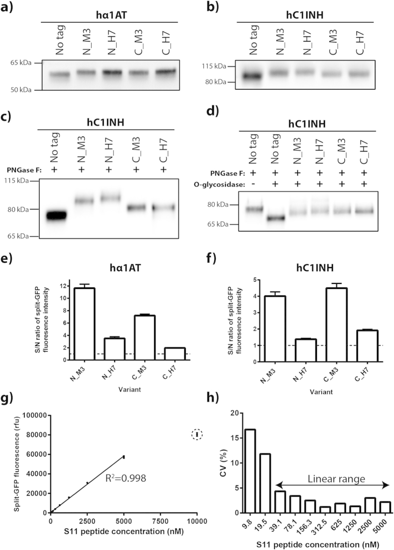 Analysis of split-GFP S11-tag variants. ( a – f ) CHO-S cells in 6-well plates were transfected with plasmids encoding hα1AT or hC1INH either S11_M3 or S11_H7-tagged at the N- or C-terminus or untagged. Supernatants two days post-transfection were analyzed. ( a ) α-hα1AT and ( b – d ) α-hC1INH Western blots under reducing conditions. The Western blots shown are representative of three experiments. ( c , d ) Proteins in supernatants were subjected to PNGase F and O -glycosidase (Protein Deglycosylation Mix) treatment under denaturing conditions where indicated. ( e , f ) Supernatants were analyzed by split-GFP product titer assay. Signal-to-noise (S/N) ratio was determined by defining noise as split-GFP complementation signal from mock transfected cells. Mean and standard deviation are depicted (n = 3). ( g ) A dilution series of a synthetic S11_M3 peptide was analyzed by split-GFP product titer assay. The trend line from linear regression and correlation coefficient (R 2 ) are shown. The encircled data point was found to be an outlier in the linear regression analysis. Mean and standard deviation from eight technical replicates are depicted. ( h ) Intra-assay variation of the split-GFP product titer assay was analyzed from the data shown in panel ( e ). The coefficient of variation (CV) at different concentrations of the S11_M3 peptide are shown. The two-headed arrow denotes the defined dynamic linear range with low intra-assay variation (CV