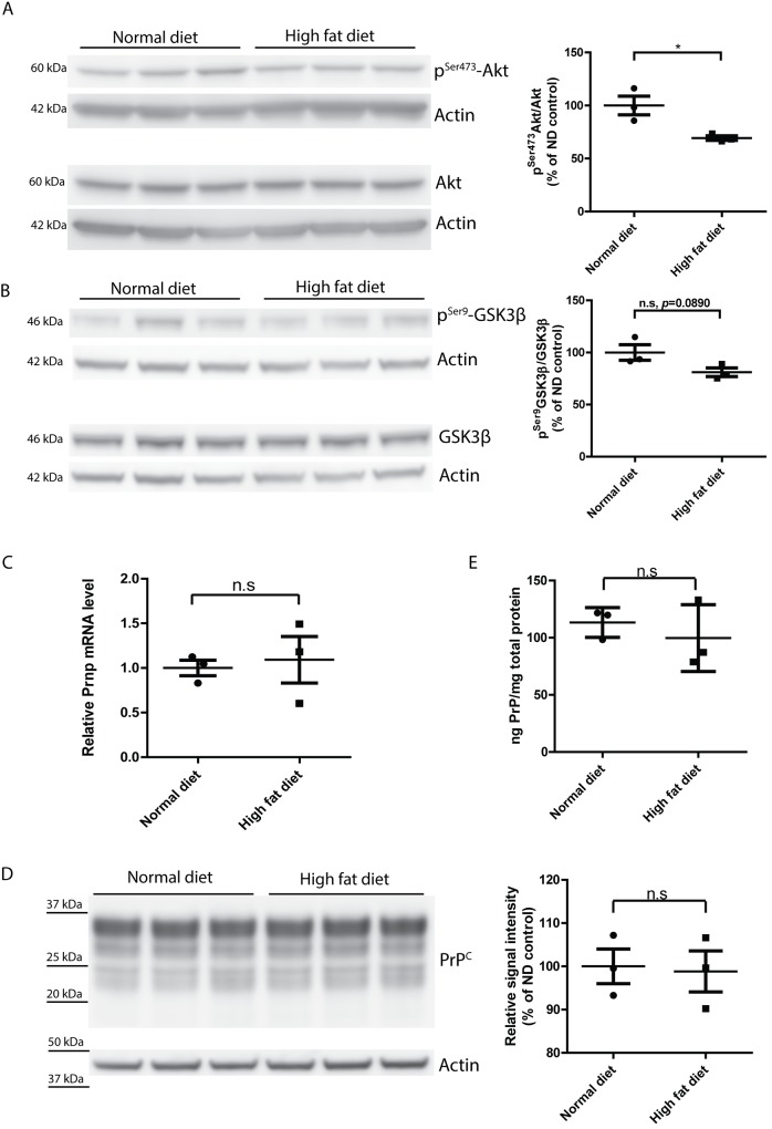 Dysregulated insulin signaling but unchanged PrP C expression in HFD-fed mouse brains. ( A ) Left: Western blot of p Ser473 -Akt and total Akt in ND- or HFD-fed mouse brains. Right: densitometric quantification of the Western blot showed significantly lower p Ser473 -Akt/Akt ratio in HFD-fed mouse brains (n = 3, *, p = 0.0280) ( B ) Left: Western blot of p Ser9 -GSK3β and total GSK3β in ND- or HFD-fed mouse brains. Right: densitometric quantification of the Western blot revealed a trend of reduced lower p Ser9 -GSK3β/ GSK3β ratio in HFD-fed mouse brains (n = 3, n.s p = 0.0890). ( C ) qRT-PCR of Prnp expression in HFD-fed and ND-fed mouse brains showed similar levels of Prnp mRNA (n = 3, n.s p > 0.05). ( D ) Left: Western blot of PrP C in HFD-fed and ND-fed mouse brains. Right: densitometric quantification of the Western blot demonstrated a similar level of PrP C expression (n = 3, n.s p > 0.05). (E) ELISA of PrP C showed similar level of PrP C expression in HFD-fed and ND-fed mouse brains (n = 3, n.s p > 0.05).