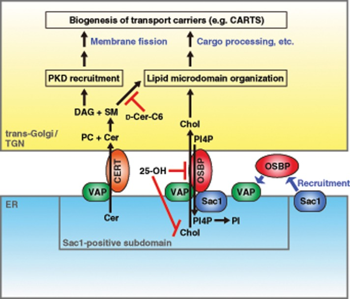 Working model for ER–Golgi contact-mediated regulation of transport carrier biogenesis. Ceramide (Cer) and cholesterol (Chol) are transported from the ER to the trans- Golgi/TGN by VAP-CERT and VAP-OSBP-Sac1 complexes, respectively, at the membrane contact site. CARTS biogenesis is controlled in two ways: 1) DAG-dependent recruitment of PKD and 2) cholesterol- and SM-rich microdomain organization. PI4P transported from the trans- Golgi/TGN to the ER is hydrolyzed by Sac1, which is recruited to a VAP-OSBP complex formed at a specialized ER subdomain closely apposed to the trans- Golgi/TGN. Reagents used in this study are also shown: 25-OH treatment inhibits both cholesterol synthesis and transfer; d -ceramide-C6 ( d -Cer-C6) treatment disrupts cholesterol- and SM-rich microdomain organization.